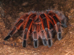 why do tarantulas web?
