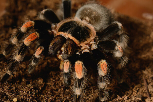 Do tarantulas feel love?