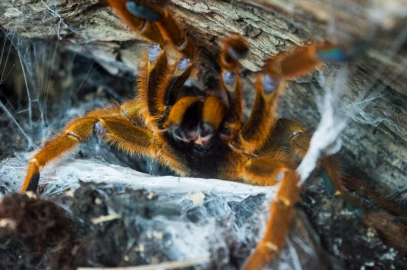 Why is my tarantula not eating or drinking?