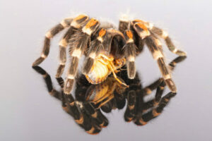 Are roaches good for tarantulas?