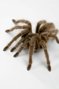 how to tell if my tarantula is dying?