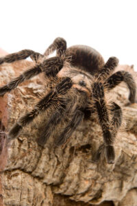 Do tarantulas need heat?
