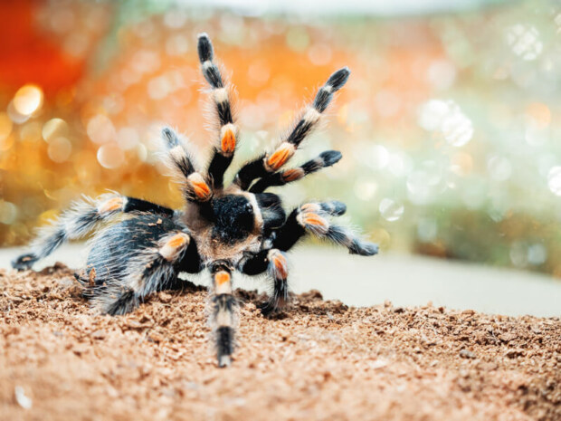 do tarantulas show affection?