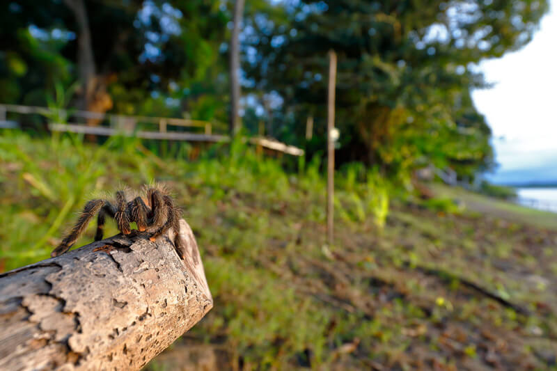 can my tarantula survive without food for a month?