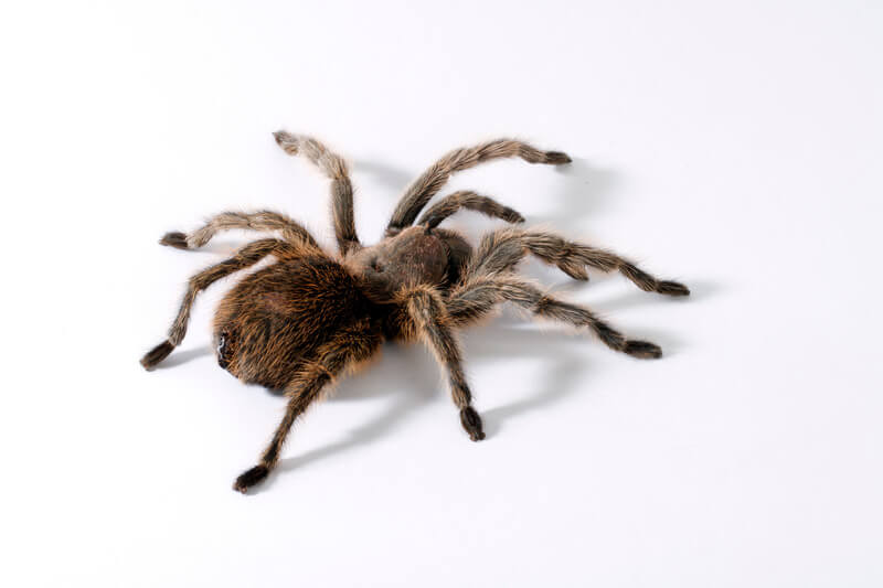 is it okay if my tarantula isn't eating for months?
