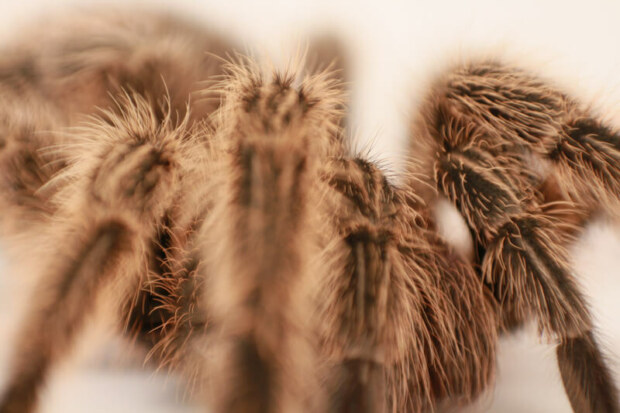 how can i help my tarantula during molt?