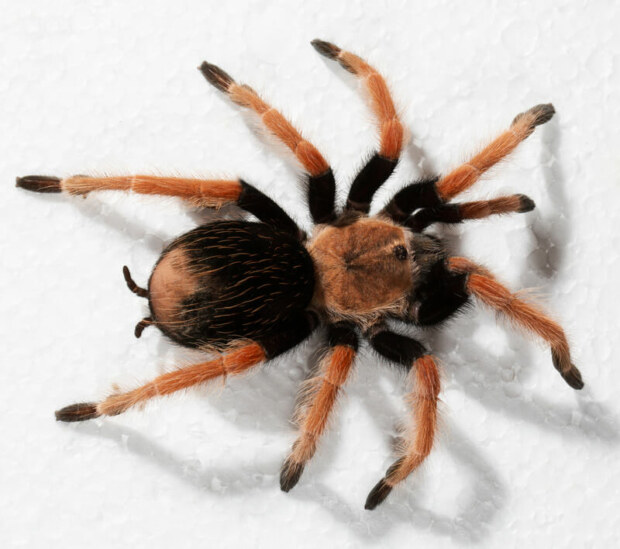 how long can tarantulas survive without eating?
