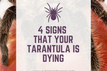 Is my tarantula dying?