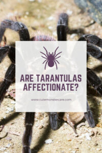 Are tarantulas affectionate?