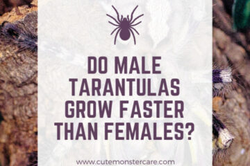 Do male tarantulas grow faster than females?