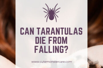 can tarantulas die from falling?