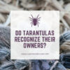 Do tarantulas recognize their owners?
