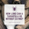 how long can a tarantula go without eating?