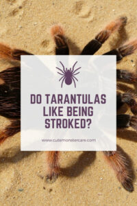 Do tarantulas like being stroked?
