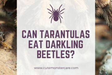 Can tarantulas eat darkling beetles?