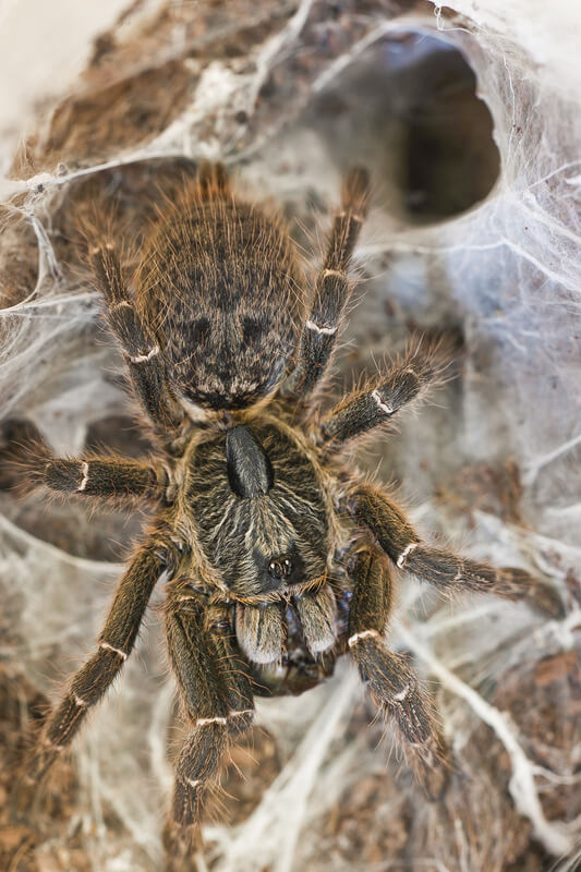How to tell if my tarantula is in pain?