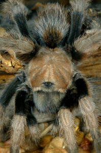 How much space do tarantulas need?