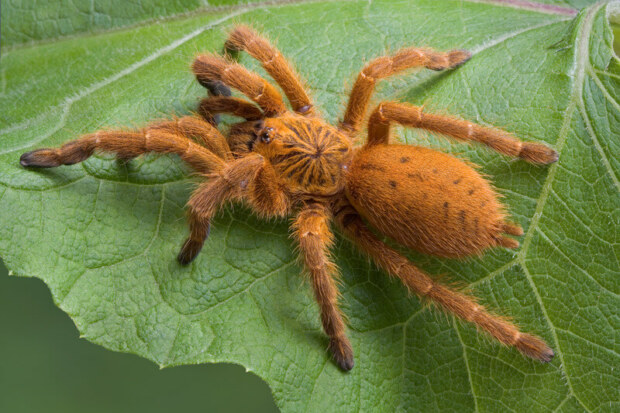 Is lettuce okay for tarantulas?