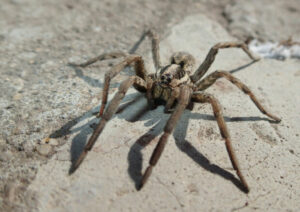 how to prevent a tarantula from eating its babies?
