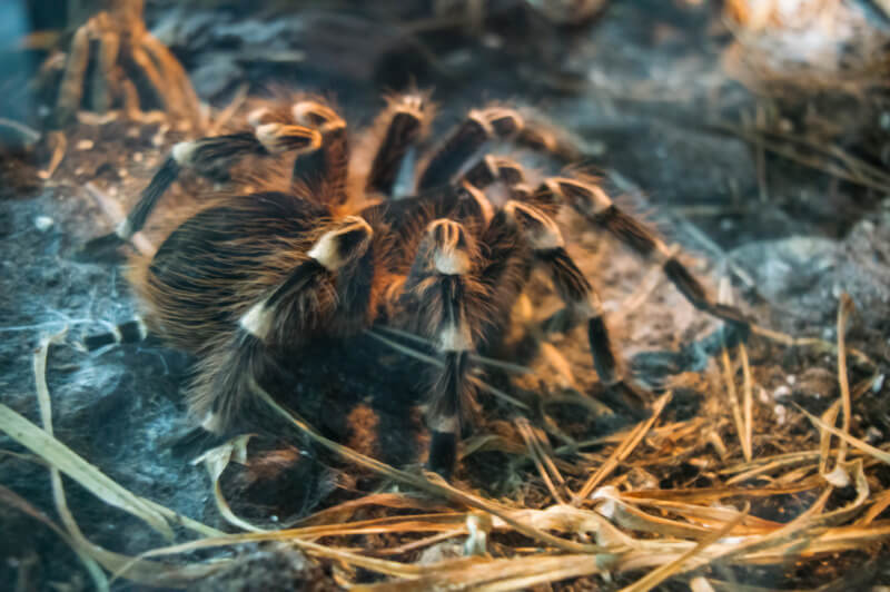 are darkling beetles healthy for tarantulas?