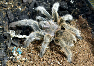 can tarantulas live on sphagnum moss?
