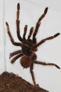 tarantula shaking behavior