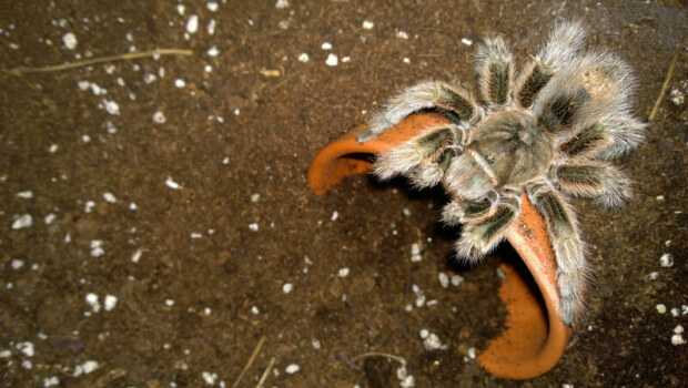 where do tarantulas hide when escaped?