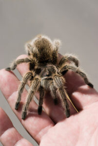 Why is my tarantula not eating during winter?