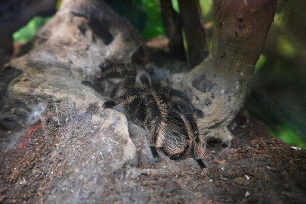 Do tarantulas stop eating in winter?
