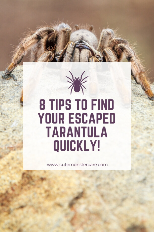 How to find my escaped tarantula?