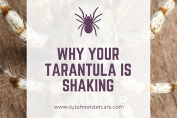 Why is my tarantula shaking?
