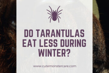 Do tarantulas eat less during winter?
