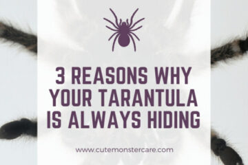 Why is my tarantula always hiding?