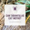 Can tarantulas eat moths?
