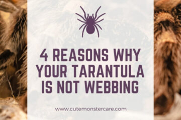 Why is my tarantula not webbing?