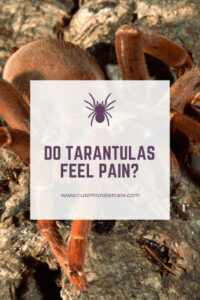 Do tarantulas feel pain?