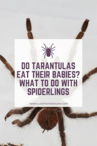Do tarantulas eat their babies?