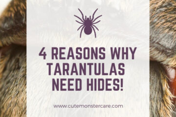 do tarantulas need hides?