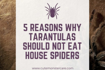 can tarantulas eat house spiders?