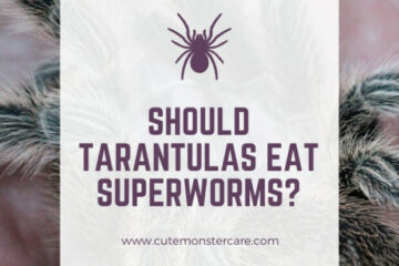 Can tarantulas eat superworms?