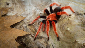 Why do tarantulas eat their molt?