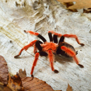 when do tarantulas sleep?