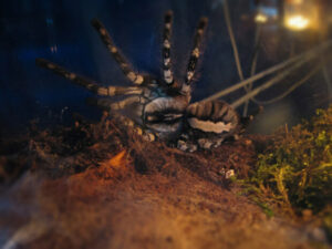 can tarantulas live together in one tank?