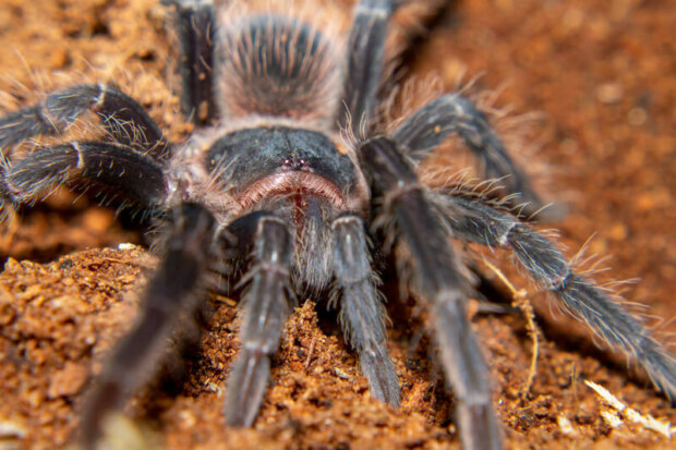 What humidity do tarantulas need?