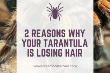Why is my tarantula losing hair?