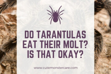 Do Tarantulas Eat Their Molt?