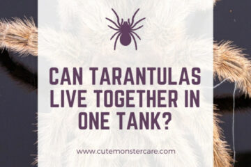 Can tarantulas live together?