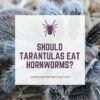 Can tarantulas eat hornworms?